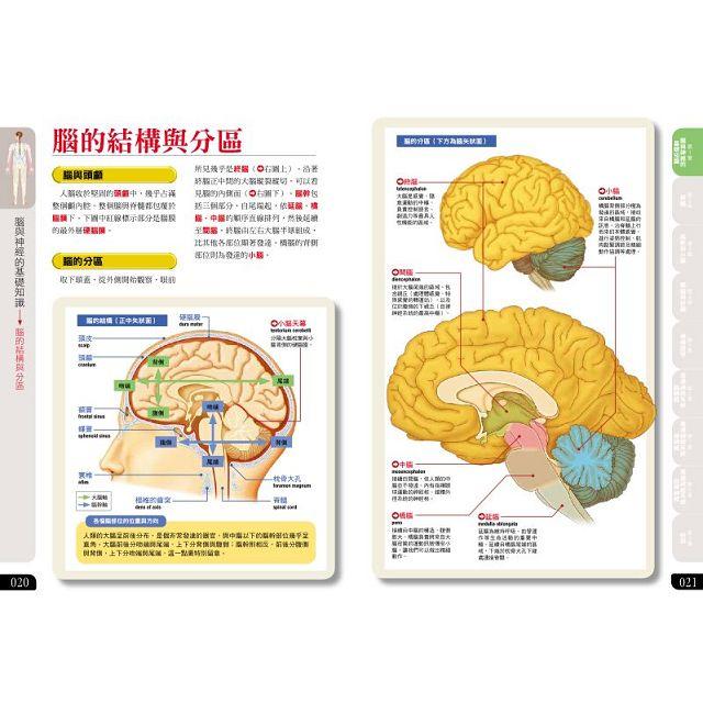 腦、神經 結構&功用百科