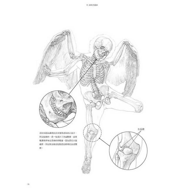 美術解剖圖