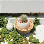 【迎光】藤籃雞蛋仙人掌植栽一入
