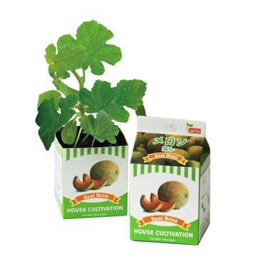 【迎光】鮮採牛奶盒植栽-哈密瓜