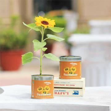 【迎光】Cultivation Table栽培罐-迷你向日葵
