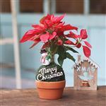 【迎光】耶誕綠苔玉(陶盆版)-耶誕紅
