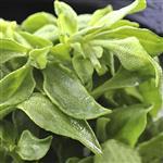 【鮮採家】綠色溫室水晶冰菜3盒入(單盒120g±10%)